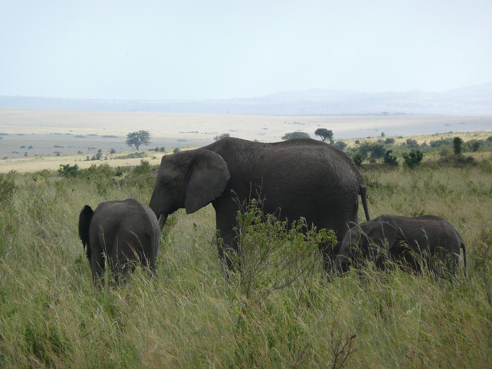 elephant, kenya, masai