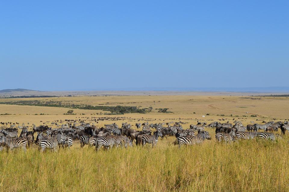 safari, zebra, wildlife