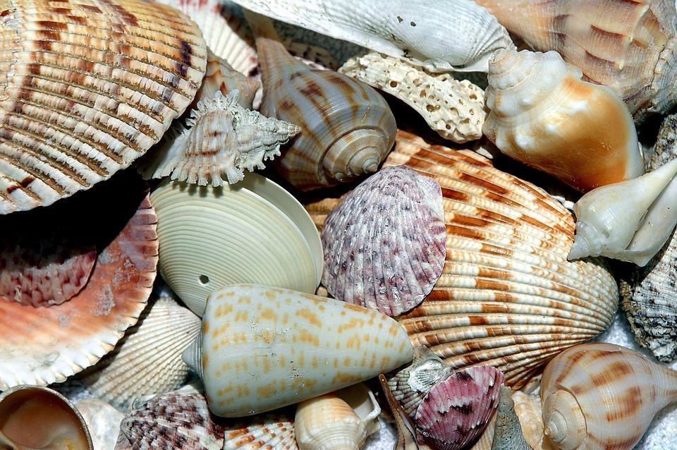 sea shells, shell, beach shell