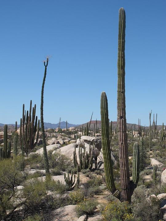 desert, california, cactus